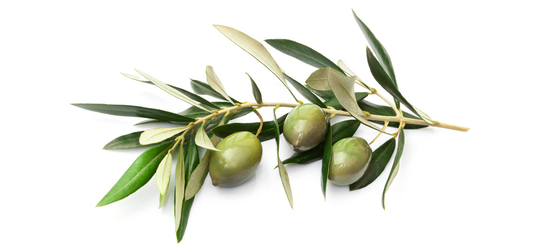 Zeytin Yaprağı Ekstraktı