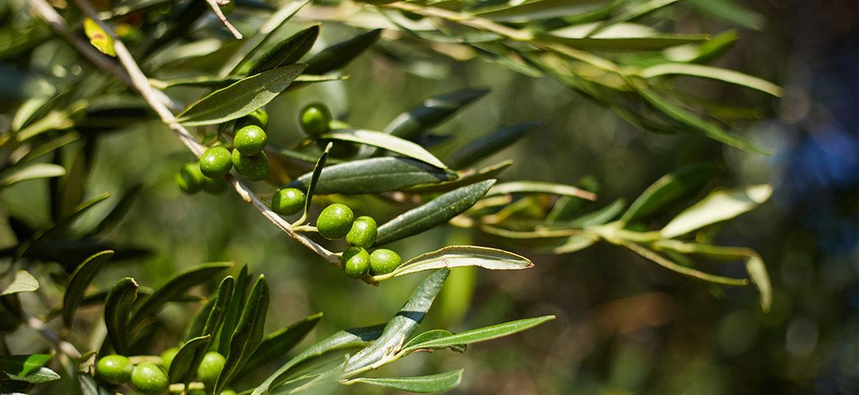 Olive Exfoliator 1000